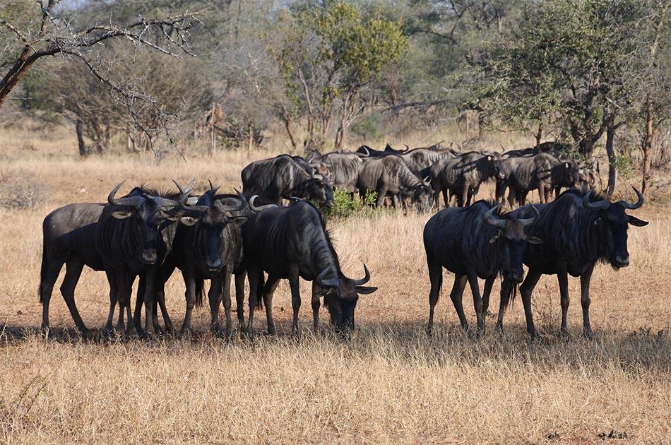 Wildebeest Migrations