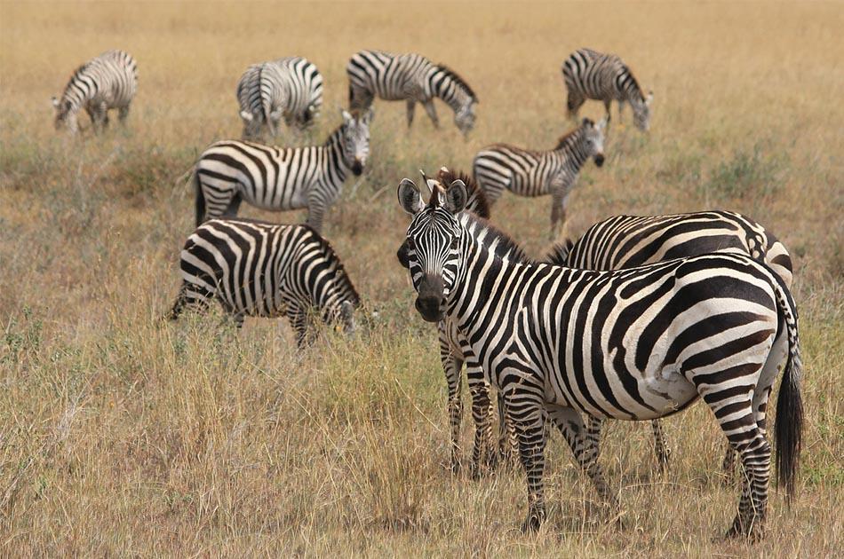 Zebra adventures